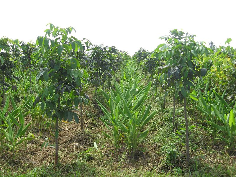 Intercropping_with_turmeric_at_Tukriajhar_Forest_plantation