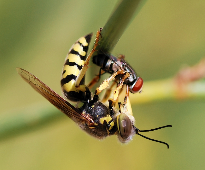 Wasp_August_2007-23